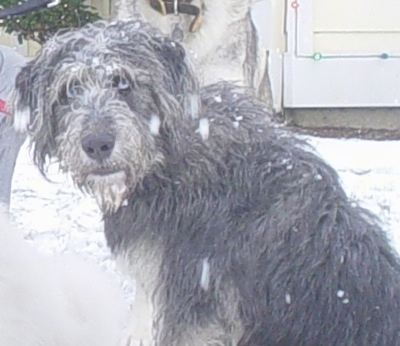 The left side of a blue eyed, Siberpoo dog that is sitting in snow looking back at the camera. It has a long shaggy coat and there is snow all over its back.