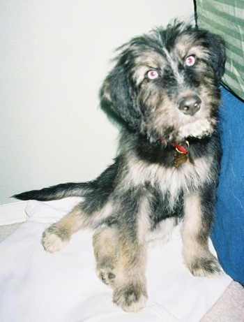 A black with tan Siberpoo puppy is sitting against a bed and it is looking forward. The pup has blue eyes.