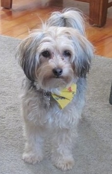 Front view - A white with grey Silky Coton dog is wearing a yellow bandana standing on a tan carpet with a hardwood floor behind it looking forward. Its coat is shaved to a medium length with longer hair on its ears and tail.