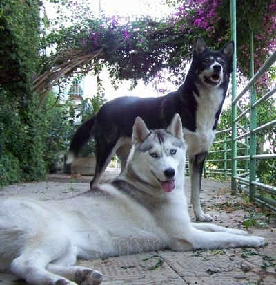 A grey Siberian Husky dog is laying on a wooden porch and standing behind it is a black and white Alaskan husky. They are both looking forward.
