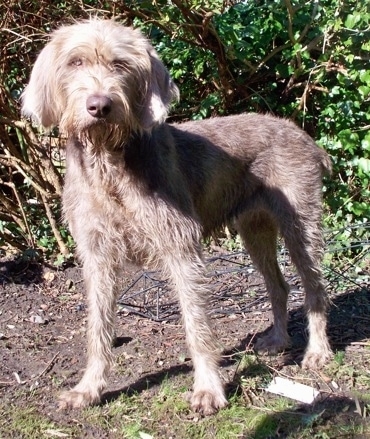 A tall, wiry looking, grey Slovakian Rough Haired Pointer dog standing in patchy grass with a bush behind it. It has long ears that hang down to the sides and a gray nose.