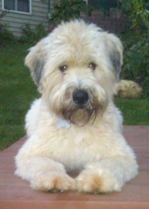 Front view - A thick coated, tan with white and grey Soft Coated Wheaten Terrier dog is laying on a table looking forward. It has a black nose and darker hair on its chin.