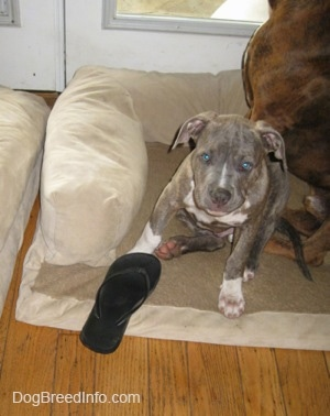A blue-nose Brindle Pit Bull Terrier puppy is sitting on a dog bed and he is looking forward. In front of him is a black flip flop shoe.