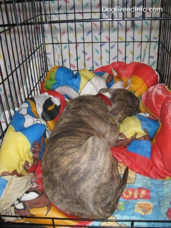 The back of a blue-nose Brindle Pit Bull Terrier puppy that is sleeping on a Looney Toons sleeping bag and a Winnie the Pooh blanket in a dog crate. The crate is covered up with a white sheet to make a cave.