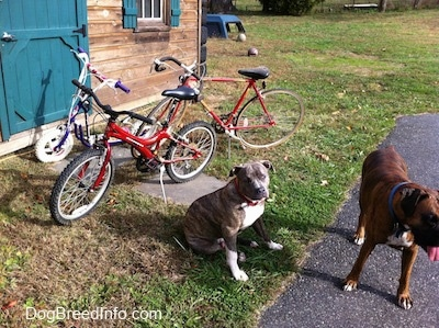 A blue-nose brindle Pit Bull Terrier puppy is sitting in grass, his head is tilted to the left and in front of him is a brown brindle Boxer. Behind the boxer are three bikes parked in front of a cedar shed with a green door.