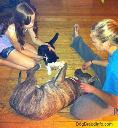 A blue-nose brindle Pit Bull Terrier puppy is laying on his right side on a hardwood floor in between two girls that are sitting across from each other. One of the girls is holding a black and white cat.