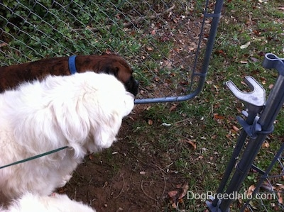 Two Great Pyrenees and a brown brindle Boxer are walking through an open gate.
