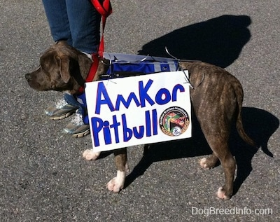 A blue-nose brindle Pit Bull Terrier puppy is standing on a blacktop surface and he is wearing a vest with a sign on the side. The sign reads - Amkor Pit Bull.