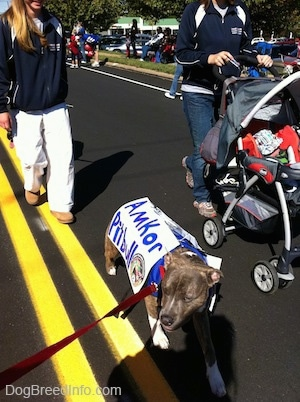 A blue-nose brindle Pit Bull Terrier puppy is wearing a vest and a sign that reads - Amkor Pit Bull. The dog is walking down a street next to a person pushing a stroller.