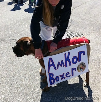 A lady in a black jacket is tying a sign to a brown brindle Boxer. The sign reads - Amkor Boxer.
