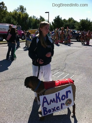 A girl in black pants is holding the leash of a brown brindle Boxer that has a sign that reads - Amkor Boxer - on it.