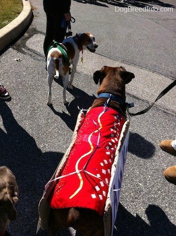 The back of a brown brindle Boxer that is looking at a brown and white beagle. They are walking in a street,