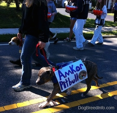 A lady in a black jacket is leading two dogs on a walk. One of the dogs is wearing a sign that reads - Amkor Pitbull.