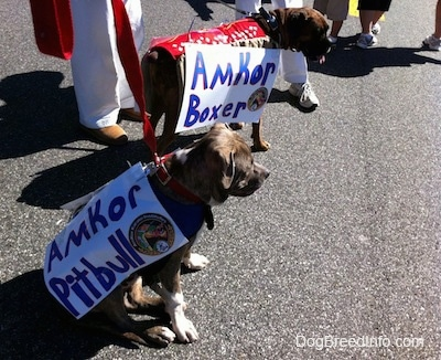 A blue-nose brindle Pit Bull Terrier puppy is sitting on a blacktop surface. He is wearing a vest and he has a sign on his side that reads - Amkor Pitbull. Next to him is a brown brindle Boxer standing on a blacktop surface. He has a sign on his side that reads - Amkor Boxer.