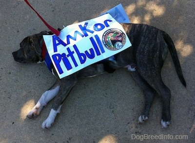 A blue-nose brindle Pit Bull Terrier puppy is laying down on his right side and he is looking forward. He is wearing a sign that reads - Amkor Pitbull.