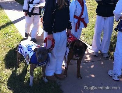 A blue-nose brindle Pit Bull Terrier puppy and a brown brindle Boxer are standing around a person in a black jacket with people in karate uniforms around them.