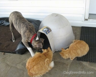 A blue-nose brindle Pit Bull Terrier puppy is standing on a dog bed and he is sniffing in front of an igloo shaped doghouse on a stone porch in front of a white house. There are two orange cats next to the puppy.