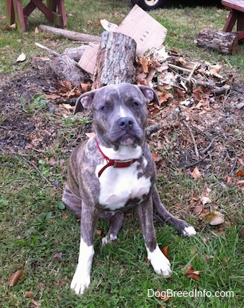 A blue-nose brindle Pit Bull Terrier puppy is sitting in grass in front of a pile of trees and logs.