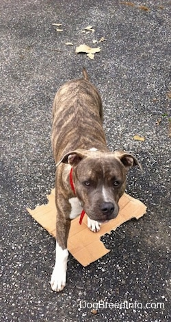 A blue-nose brindle Pit Bull Terrier puppy is standing on a cardboard box in a driveway and there are pieces of cardboard behind him.