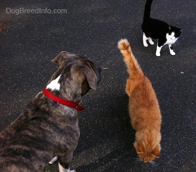 The back of a blue-nose brindle Pit Bull Terrier puppy being circled by an orange cat and a black with white cat.