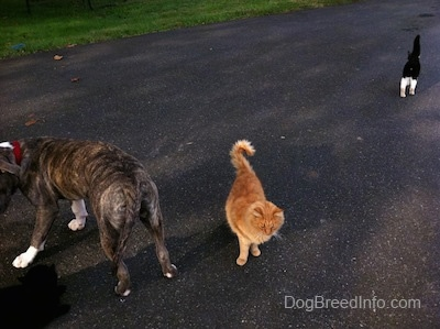 A blue-nose brindle Pit Bull Terrier puppy is turning around to walk back down a driveway. An orange Cat is standing in the driveway and walking up the driveway there is a black with white cat.