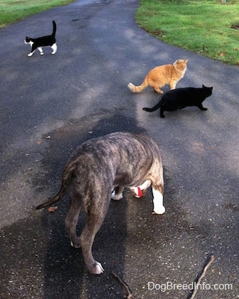 A blue-nose brindle Pit Bull Terrier puppy is sniffing a wet spot on a driveway. There are three cats in front of him. A black cat and an orange cat are walking to the right. A black with white cat is walking to the left.