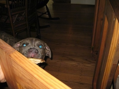 A blue-nose brindle Pit Bull Terrier puppy is standing in front of an open cabinet with a bone in his mouth.