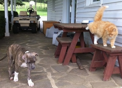 A blue-nose brindle Pit Bull Terrier puppy is walking across a stone porch and there is a cat walking on table adjacent to the puppy.