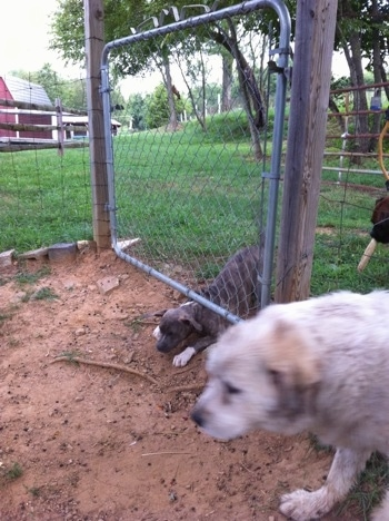 A blue-nose brindle Pit Bull Terrier puppy is crawling under a fence and walking next to him is a Great Pyrenees dog.