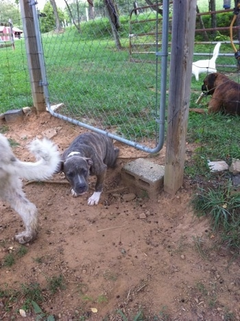 A blue-nose brindle Pit Bull Terrier puppy is on the other side of the fence and in front of him is a great pyrenees. On the opposite side of the fence a brown brindle Boxer is laying in grass and chewing on a bone as a white cat walks by.