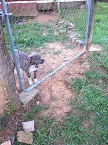 A blue-nose brindle Pit Bull Terrier puppy is standing in dirt and looking out of a metal gate.