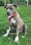 A blue-nose brindle Pit Bull Terrier puppy is sitting in grass and he is looking to the left. He is panting.