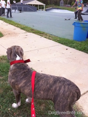 The back of a blue-nose brindle Pit Bull Terrier puppy that is standing in grass and looking at people skatebord at a skatepark.