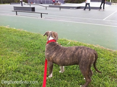 A blue-nose brindle Pit Bull Terrier puppy is standing in grass and he is looking at people skateboarding at a skatepark.