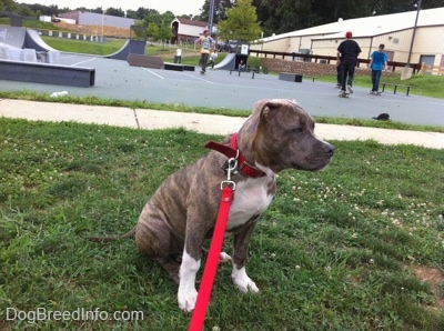 A blue-nose brindle Pit Bull Terrier puppy is sitting in grass and he is looking to the right. Behind him is a skatepark filled with people skating.