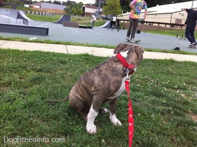 A blue-nose brindle Pit Bull Terrier puppy is sitting in grass and he is looking at people skating behind him.