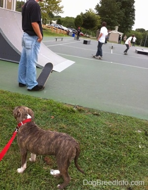 A blue-nose brindle Pit Bull Terrier puppy is standing in grass and he is looking at a person in a black shirt standing on a skateboard at the skatepark.