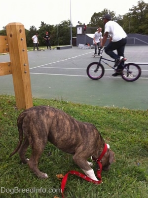 A blue-nose brindle Pit Bull Terrier puppy is standing in grass sniffing the ground. There is a person riding a bike across a skateboard park.