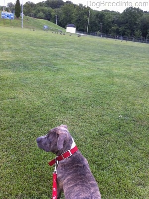 The back of a blue-nose brindle Pit Bull Terrier puppy that is standing in a field and looking to the left at a flock of Geese