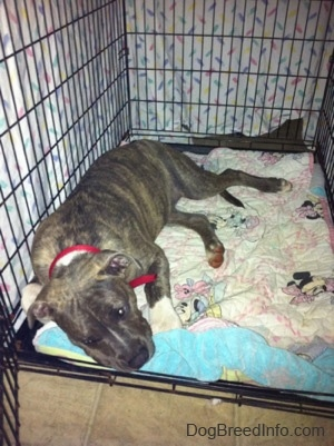 A blue-nose brindle Pit Bull Terrier puppy is laying down on a Minnie Mouse blanket that is at the bottom of a dog crate.