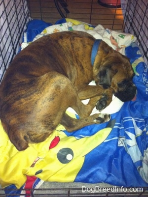 A brown with black and white Boxer is sleeping in a crate on top of a Pokemon sleeping bag.