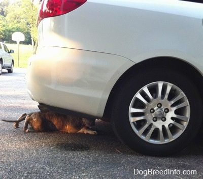 A blue-nose brindle Pit Bull Terrier puppy is crawling under a white Toyota Sienna Minivan.