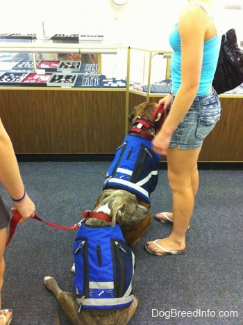 The back of a blue-nose brindle Pit Bull Terrier puppy and a brown with black and white Boxer that are wearing vests and they are sitting in a jewelry store. There is a girl in blue standing next to the Boxer.