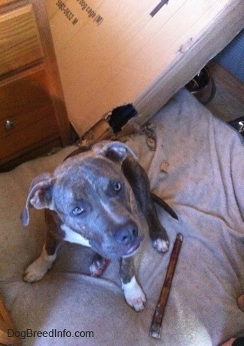 Top down view of a blue-nose brindle Pit Bull Terrier puppy sitting on a pillow next to a bully stick bone and there is a cardboard box behind him. The puppy is looking up.