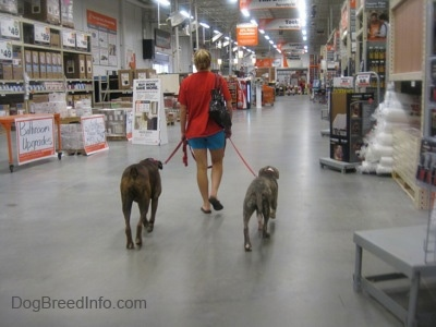 A person in a red shirt is leading a brown brindle Boxer and a blue-nose brindle Pit Bull Terrier puppy down an aisle in a Home Depot.