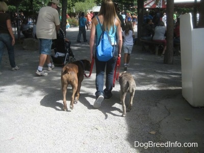 A lady with a blue backpack on are leading a blue-nose brindle Pit Bull Terrier across a amusement park.