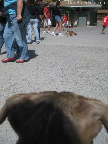 The back of a blue-nose brindle Pit Bull Terrier puppies head is looking across an amusement park at a person walking a dog.