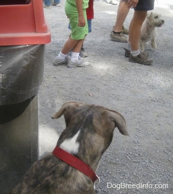 The back of a blue-nose brindle Pit Bull Terrier puppy is sitting near a garbage can and he is looking out at a white dog in a crowd of people.