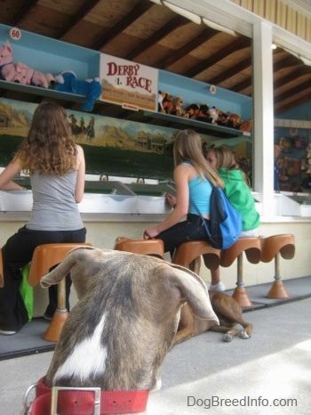 The back of a blue-nose brindle Pit Bull Terrier puppy is sitting on a concrete surface looking at three girls sitting in front of a carnival machine.