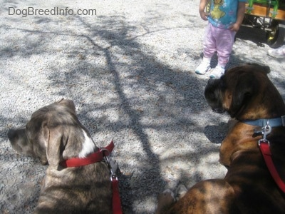 A blue-nose brindle Pit Bull Terrier puppy and a brown brindle Boxer are standing on gravel looking to the left with a toddler in front of them.